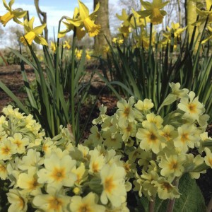 Lodgepark Daffodills